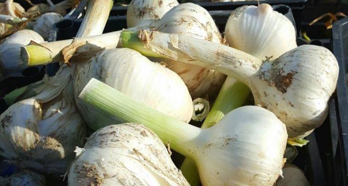 Say Goodbye To Bad Garlic Breath With A New Kind of Garlic