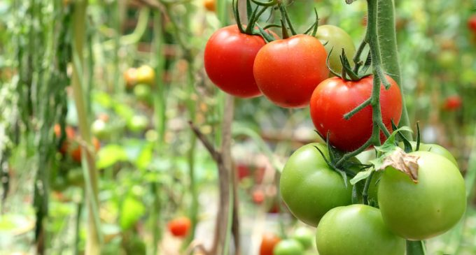 Tomatoes 101: Types of Tomatoes and How to Use Them